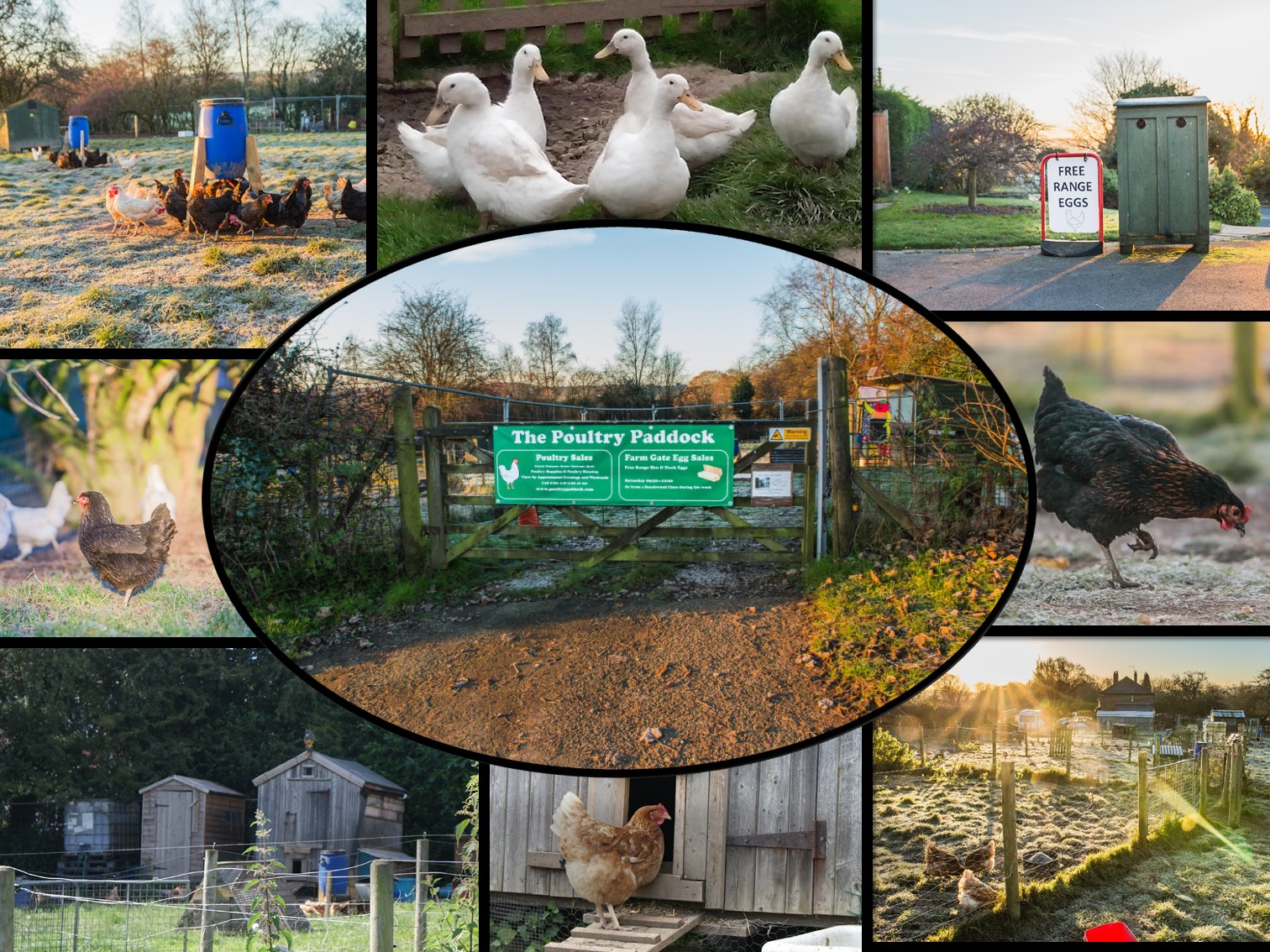 Chickens for sale - the Poultry Paddock